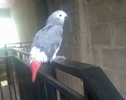 African Grey Parrot For Sale (Call or Whatsapp - 07033755593)
